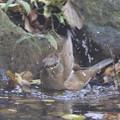 写真: 181115-10シロハラ♀の水浴び