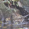 写真: 181115-11シロハラ♀の水浴び
