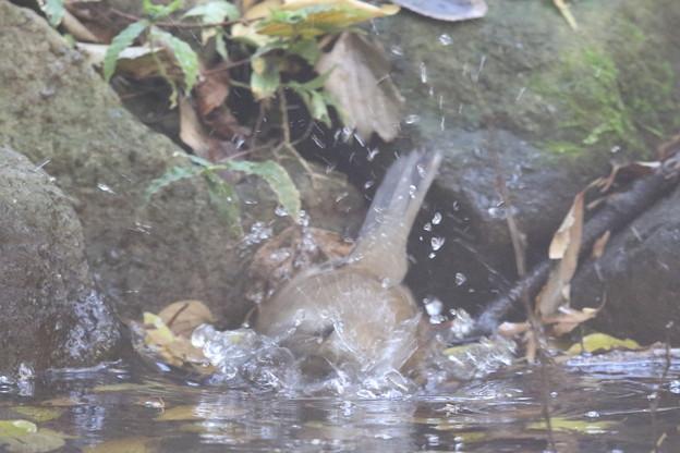 181115-13シロハラ♀の水浴び