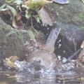 写真: 181115-13シロハラ♀の水浴び