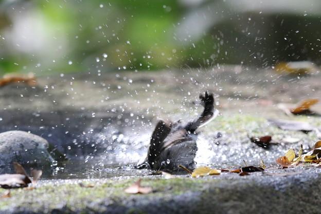 181118-18シジュウカラの水浴び