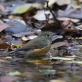 写真: 181201-4ルリビタキ♂若の水浴び