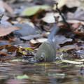 写真: 181201-5ルリビタキ♂若の水浴び