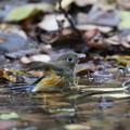 写真: 181201-6ルリビタキ♂若の水浴び