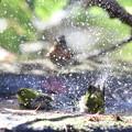 181218-28メジロの水浴び(手前)とアトリ