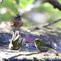 写真: 181218-31メジロの水浴び(手前)とアトリ