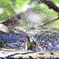 181218-32メジロの水浴び(手前)とアトリ
