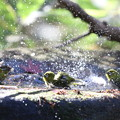 181218-33メジロの水浴び