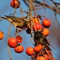 写真: 181219-1柿を食べるムクドリ