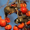 写真: 181219-2柿を食べるムクドリ