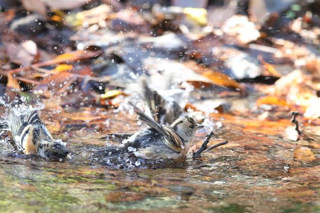 181219-16アトリの水浴び