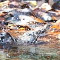 181219-19アトリの水浴び