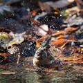 写真: 181219-20アトリの水浴び