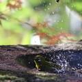 写真: 181219-23メジロの水浴び