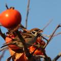 写真: 181221-1柿を食べるスズメ