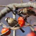 写真: 181221-2柿を食べるスズメ