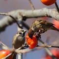 写真: 181221-3柿を食べるスズメ