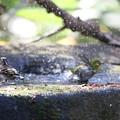 181221-7メジロの水浴び(右)とアトリ