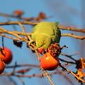 181229-3柿を食べるホンセイインコ