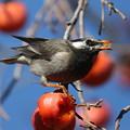 181229-9柿を食べるムクドリ