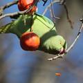 写真: 181231-10かじった柿を捨てるホンセイインコ
