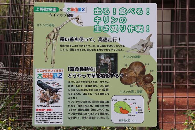190301-159上野公園界隈散策・上野動物園・走る!食べる!キリンの生き残り作戦!