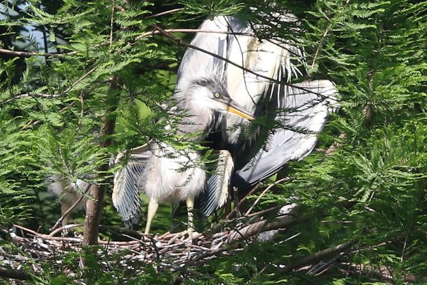 190516-3孵ったのに気づいてから7日目の羽を広げた雛・アオサギ