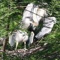 Photos: 190516-3孵ったのに気づいてから7日目の羽を広げた雛・アオサギ