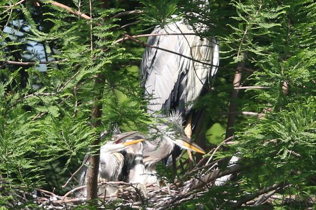 190516-4孵ったのに気づいてから7日目の二羽の雛・アオサギ