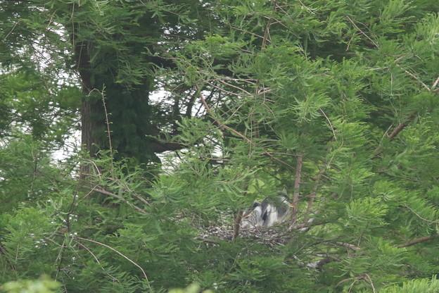 Photos: 190520-1雛が孵ったのに気づいてから11日目・今朝も巣に親がいません。・アオサギ