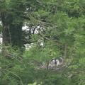 190520-1雛が孵ったのに気づいてから11日目・今朝も巣に親がいません。・アオサギ