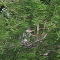 190520-3雛が孵ったのに気づいてから11日目・雛二羽・アオサギ