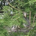 Photos: 190520-4雛が孵ったのに気づいてから11日目・羽繕いをする雛・アオサギ
