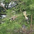 Photos: 190522-2雛が孵ったのに気づいてから13日目・給餌・アオサギ