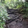 Photos: 190725-37大江湿原と尾瀬沼・尾瀬沼時計回り一周・根っこ道