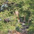 Photos: 190523雛が孵ったのに気づいてから14日目・親と雛二羽・アオサギ