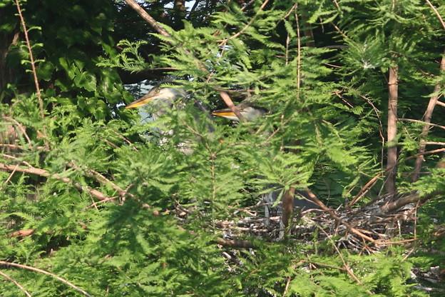 190524-4雛が孵ったのに気づいてから15日目・雛二羽・アオサギ