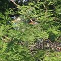 Photos: 190524-4雛が孵ったのに気づいてから15日目・雛二羽・アオサギ