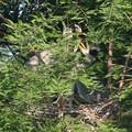 Photos: 190526-1雛が孵ったのに気づいてから16日目・どうなってるの?・アオサギ(1/3)