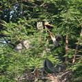 Photos: 190526-3雛が孵ったのに気づいてから17日目・どうなってるの?・アオサギ(3/3)