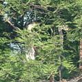 190527-1雛が孵ったのに気づいてから18日目・二羽の雛の背比べ・アオサギ