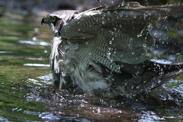 190527-7オオタカの水浴び
