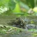 Photos: 190527-13コゲラの水浴び