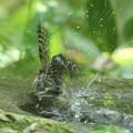 Photos: 190527-14コゲラの水浴び
