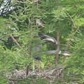 190528-1雛が孵ったのに気づいてから19日目・雛の飛ぶ練習?・アオサギ
