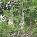 190528-2雛が孵ったのに気づいてから18日目・二羽の雛の背比べ・アオサギ