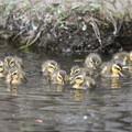 Photos: 190528-5雛が孵ってから2日目・12羽の幼鳥・カルガモ