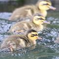 Photos: 190528-7雛が孵ってから2日目・幼鳥・カルガモ