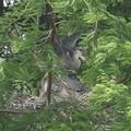 190529-1雛が孵ったのに気づいてから20日目・雛の飛ぶ練習?・アオサギ