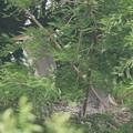 190601雛が孵ったのに気づいてから23日目・二羽の雛・アオサギ